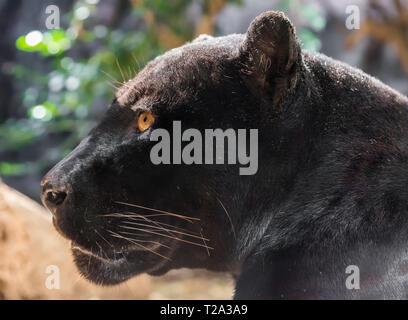 Close-up view of a black Jaguar (Panthera onca) - Stock Photo
