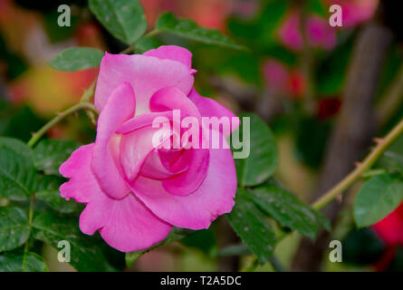 Pink Roses Images - Stock Photo