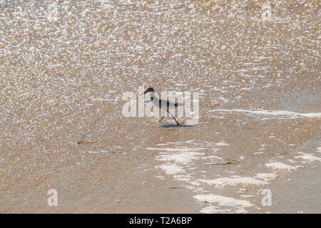 Sandpiper bird walking in shallow water of the ocean on a beach - Stock Photo