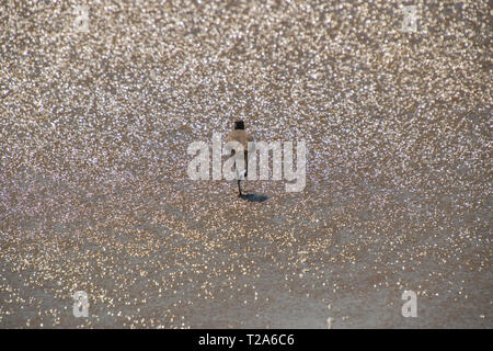 Sandpiper bird walking away in shallow water of the ocean on a beach - Stock Photo