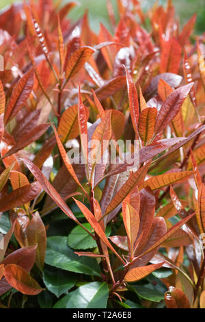 Photinia × fraseri 'Red Robin' in Spring. - Stock Photo