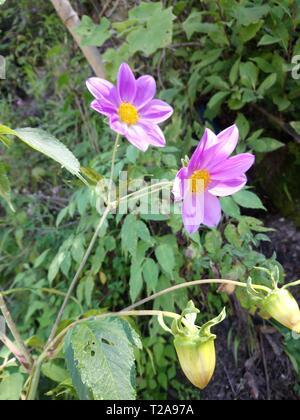 flor que hace en las orillas de rios de un pueblo de Guatemala  quetzaltenango, cajola un municipio donde nace el rios samala  florece por tempradass - Stock Photo
