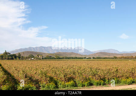 Scenic landscape of vineyards in the Robertson Wine Valley, Western Cape Winelands, Route 62, South Africa, with the Langeberg Mountains