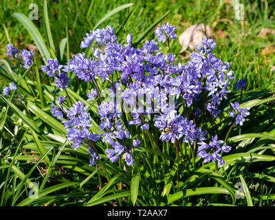 Massed spring flowers of the bulbous Turkish squill, Scilla bithynica, naturalised in grass - Stock Photo