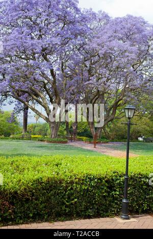 Jacaranda trees at St Andrew's School for Girls - Stock Photo