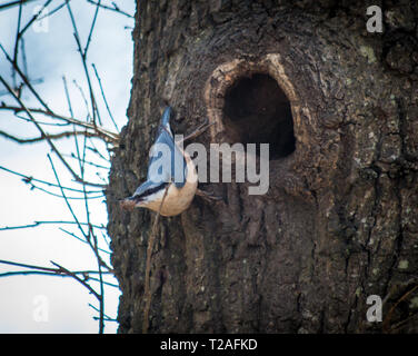 Nesting Nuthatch in tree - Stock Photo