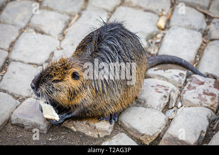 Close-up of Nutria eats an carrot on embankment near Charles Bridge in Prague, posing on the banks of the Vltava - Stock Photo