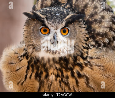 A Eurasian eagle owl fluffing his feathers.