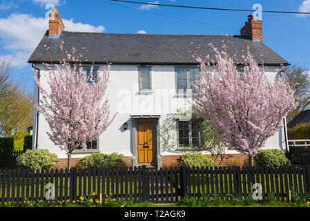 White country house with two cherry trees full of pink blossoms in the front garden in England, UK - Stock Photo