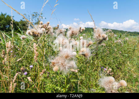 Creeping Thistle (Cirsium arvense) plant seeds in Summer in the UK. - Stock Photo