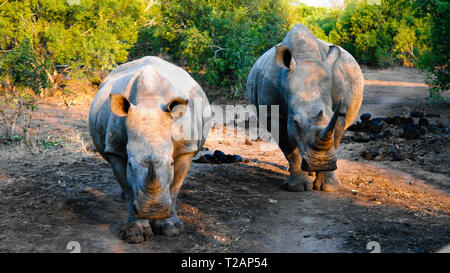 Portrait of white rhinos in the Mkhaya Game Reserve at sunset, Siphofaneni, Eswatini former Swaziland - Stock Photo