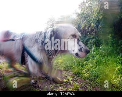 English setter 'Rudy' on 08.06.2018 while cooling under an irrigation system in the fields of Lysa nad Labem, (Czech Republic). Rudy was born in early January 2017. | usage worldwide - Stock Photo