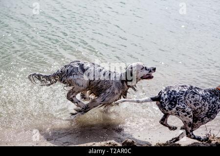 English setter 'Rudy' runs with his friend 'Dina' on the 30.03. 2018 at the pond of Stara Lysa, (Czech Republic). Rudy was born in early January 2017 and moved to his new family some time ago. | usage worldwide - Stock Photo