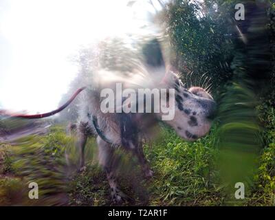 English setter 'Rudy' on 10.06.2018 while cooling under an irrigation system in the fields of Lysa nad Labem, (Czech Republic). Rudy was born in early January 2017. | usage worldwide - Stock Photo