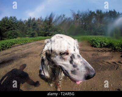 English setter 'Rudy' on 10.06.2018 while cooling down under an irrigation system in the fields of Lysa nad Labem, (Czech Republic). Rudy was born in early January 2017. | usage worldwide - Stock Photo