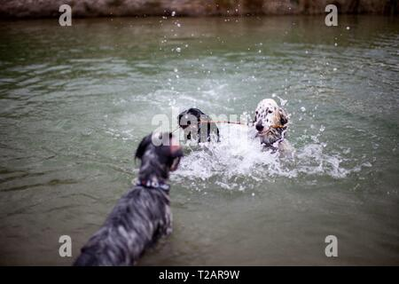 English Setter puppy 'Rudy' with his sister 'Tavi' and friend 'Dina' on the 06.09. 2017 in the pond of Stara Lysa, (Czech Republic). Rudy was born in early January 2017 and moved to his new family some time ago. | usage worldwide - Stock Photo