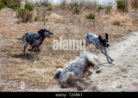 English setter 'Rudy' plays with his sister 'Tavi' and friend 'Dina' on the 30.03. 2018 at the pond of Stara Lysa, (Czech Republic). Rudy was born in early January 2017 and moved to his new family some time ago. | usage worldwide - Stock Photo