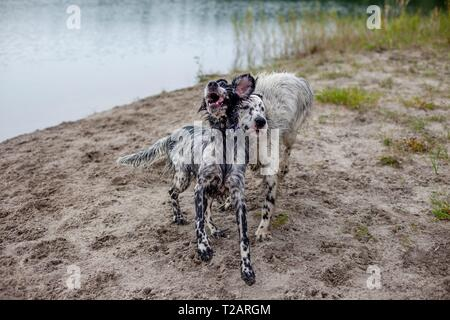 English Setter puppy 'Rudy' with his sister 'Tavi' on the 26.08. 2017 after swimming in the pond of Stara Lysa, (Czech Republic). Rudy was born in early January 2017 and moved to his new family some time ago.   usage worldwide - Stock Photo