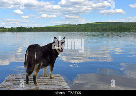 Lapponian herder (Lapinporokoira or Lapp Reindeer dog or Lapsk Vallhund)  on background of blue lake and blue sky. Finnish Lapland - Stock Photo