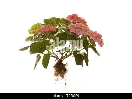 Whole Hydrangea Macrophylla Rosita on isolated white background - Stock Photo