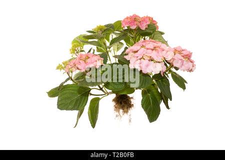 whole flowering hydrangea macrophylla rosita on isolated white background - Stock Photo