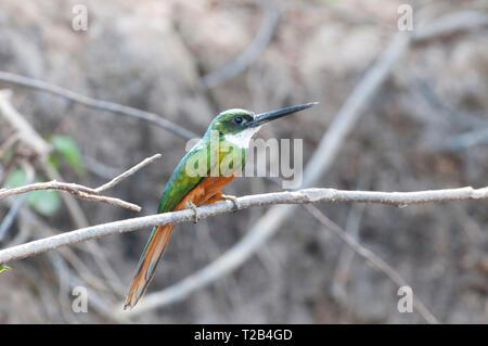 Rufous-tailed jacamar (Galbula ruficauda) in the Pantanal Brazil - Stock Photo