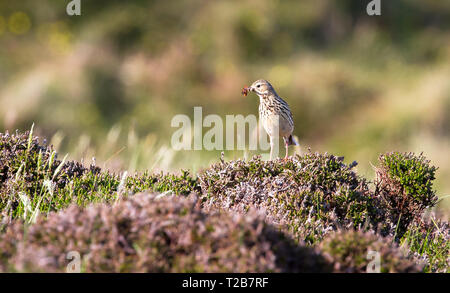 An adult meadow pipit (Anthus pratensis) holds an orange bug in its mouth while perched on dense shrubs in the Oa Nature Reserve on the island of isla - Stock Photo