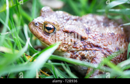 Common toad (Bufo bufo) hides in tall grass at Whixall Moss in Shropshire, England. - Stock Photo