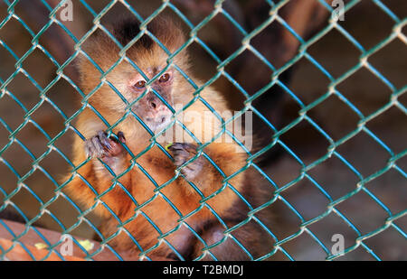 Close-up of a rescued Capuchin Monkey (Genus: Cebus) looking out from her enclosure at Philips Animal Garden, Noord, Aruba. - Stock Photo