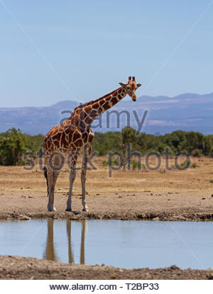 Reticulated Giraffe, Giraffa camelopardalis reticulata, stands at waterhole. Ol Pejeta Conservancy, Kenya, Africa. Looking forward, vertical photo - Stock Photo