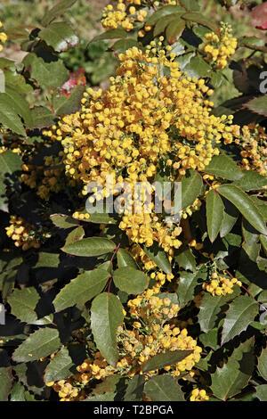 plant of mahonia aquifolium, oregon grape, in full blooming - Stock Photo