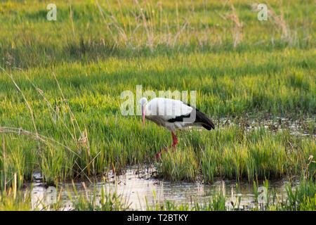 stork eating in swamp field - Stock Photo