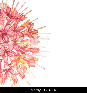 Pink flowers Gambier extracts plants watercolor botanical illustrations - Stock Photo