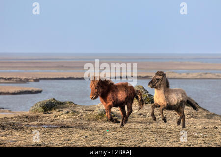 Icelandic horses, Stokksnes, Hornafjordur, Hofn, South Iceland, Iceland, Europe - Stock Photo