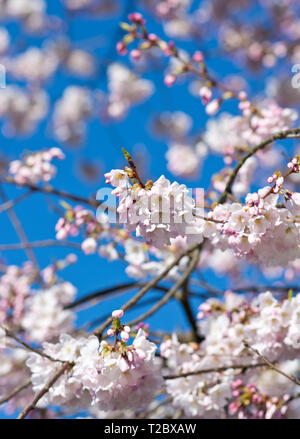 Pink akebono cherry blossoms on branches against a blue sky. - Stock Photo