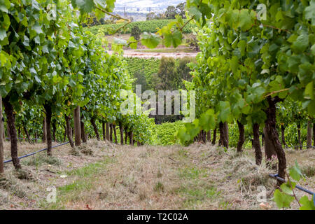 Straight green rows of grape vines. Wine valley in Barossa, South Australia. Close up image of grapevine. - Stock Photo