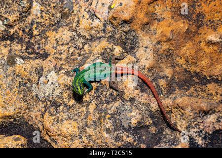 A colorful male Broadleys flat lizard (Platysaurus broadleyi) basking, South Africa - Stock Photo