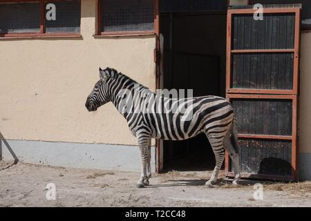 29 March 2019, Bavaria, München: A zebra stands in the outdoor enclosure at the crown building of Circus Krone. Photo: Marie Reichenbach/dpa - Stock Photo