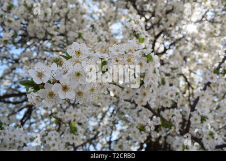 White blossom tree with stamens during the spring beautiful weather with a sky background, wallpaper taken in Bulgaria - Stock Photo