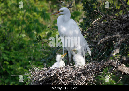 Great Egret, Ardea alba, also known as the common egret, large egret, or (in the Old World) great white egret, USA, adult at nest with two chicks, 2 y - Stock Photo