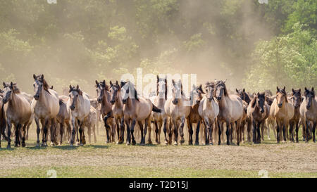 Herd of Duelmen ponies, the last feral horses in Germany, a native horse breed lives in Merfelder Bruch, Dülmen, Münsterland, North Rhine-Westphalia - Stock Photo