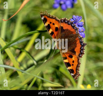 A small tortoiseshell butterfly feeding on nectar from a grape hyacinth flower. - Stock Photo