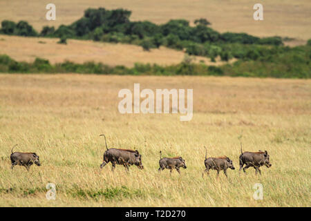 Warthog family of five running on grassland follow the leader with tails up Kenya - Stock Photo
