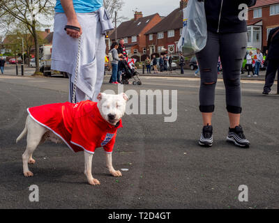 A white Staffordshire Bull Terrier wearing an England football shirt. - Stock Photo