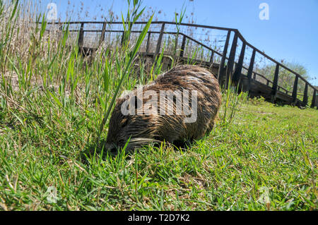 coypu, or nutria (Myocastor coypus) on land. Photographed in Israel, Hula Valley in March - Stock Photo