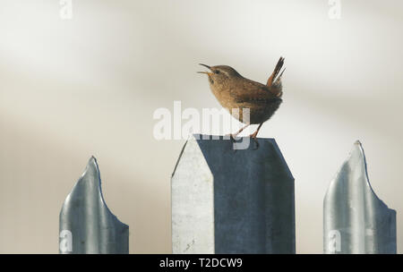 A pretty singing Wren, Troglodytes troglodytes, perched on a metal fence. - Stock Photo