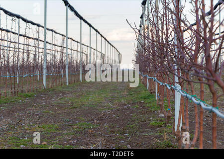 Rows of young Golden Delicious apple trees in March selective focus, Serbia - Stock Photo