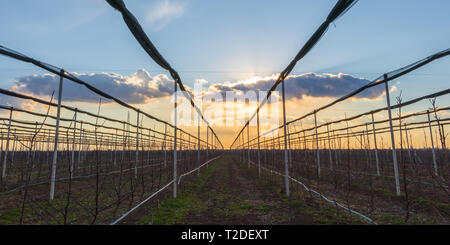 Sunset over the apple orchard in early spring - Stock Photo