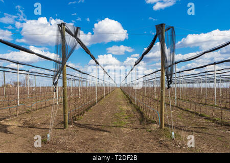 Apple trees in apple orchard in March, Serbia - Stock Photo