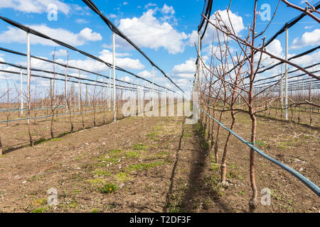 Apple orchard in early spring - Stock Photo